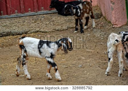 Beautiful Peaceful Tame Goat Animals On A Farm On Canary Island Fuertaventra