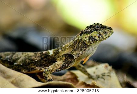 Gliding Lizards - Draco Is A Genus Of Agamid Lizards That Are Also Known As Flying Lizards, Flying D