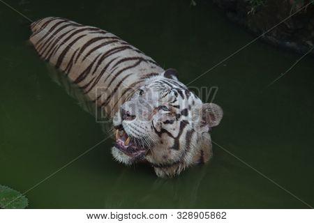 Closeup Portrait Shot Of A White Tiger.white Siberian Tiger Swimming. - Image