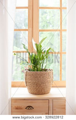 Spathiphyllum Home Plant In Straw Pot Stands On A Windowsill. Home Plants On The Windowsill. Concept
