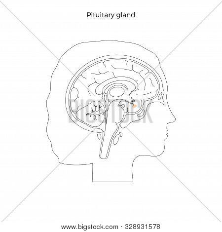 Vector Isolated Illustration Of Pituitary Gland In Woman Head. Human Brain Components Detailed Anato