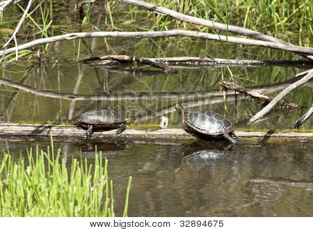 Two Turtles On Log.