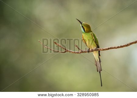 The blue-tailed bee-eater (Merops philippinus) perching on branch, colorful bird on clear background, Yala National Park, Sri Lanka, exotic birdwatching in Asia,bird in natural environment poster