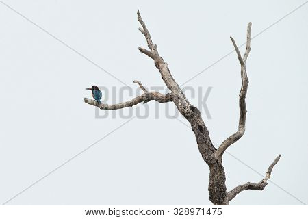 White-throated Kingfisher Perches On A Dead Tree Without Leaves, Colorful Bird On Clear Background,