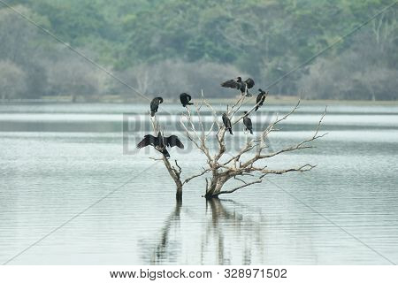 Cormorants and anhingas perching on dead tree on lake, flock of birds on clear background, Yala National Park, Sri Lanka, exotic birdwatching in Asia,bird in natural environment, water birds resting poster