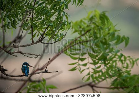 Common Kingfisher (alcedo Atthis)   Perches On A Branch With Leaves, Colorful Bird On Clear Backgrou