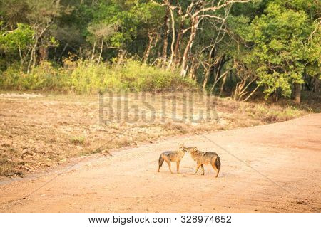 Couple Of Golden Jackal, Canis Aureus On The Road In Yala National Park, Sri Lanka, Asia. Beautiful
