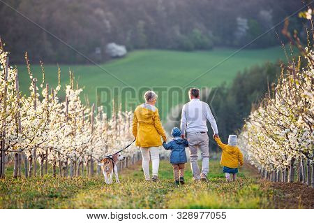 Rear View Of Senior Grandparents With Toddler Grandchildren Walking In Orchard In Spring.