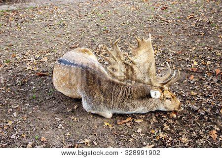 Side View Of A Fallow Deer, Latin Cervus Dama
