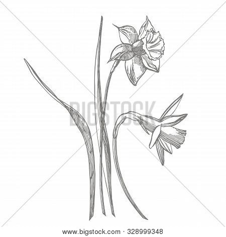 Daffodil Or Narcissus Flower Drawings. Collection Of Hand Drawn Black And White Daffodil. Hand Drawn