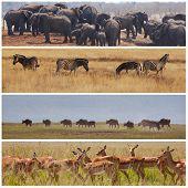 african safari in Etosha,Namibia poster
