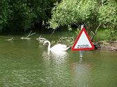 A image of a swan swimming on a lake. Their is also a warning sign warning against fishing. poster