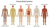 Illustration of the human body systems poster