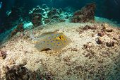 Blue-spotted stingray on the sea bed in an underwater tropical cave poster