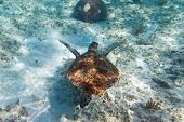 Green turtle in nature of Caribbean sea poster