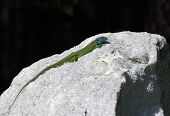lizard crawled on a white stone and basks in the sun poster
