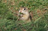 Beautiful European ground squirrel in the hole eating poster