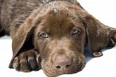 Close up portrait of cute lab puppy. poster