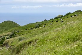 Cows Grazing On The Pasture In Sao Miguel, Azores, Portugal
