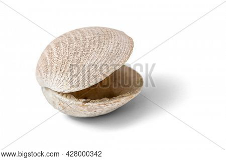 Shell isolated on a white background, including clipping path