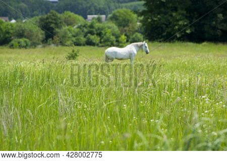 Field Grass. White Horse Out Of Focus, On Green Grass In The Field. White Horse Stands In An Agricul