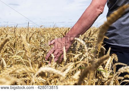 An Adult Unrecognizable Man On A Farm Field Is Touching Ears Of Ripe Cereals. Harvesting, Early Autu