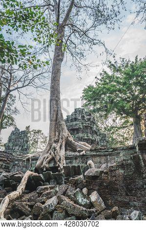 Huge Banyan Tree Ancient Angkor Wat Ruins Panorama Sunrise Asia. Siem Reap, Cambodia