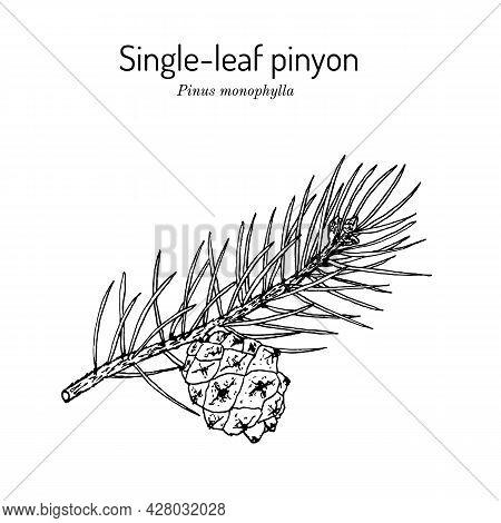 Single-leaf Pinyon Pinus Monophylla , State Tree Of Nevada. Hand Drawn Botanical Vector Illustration