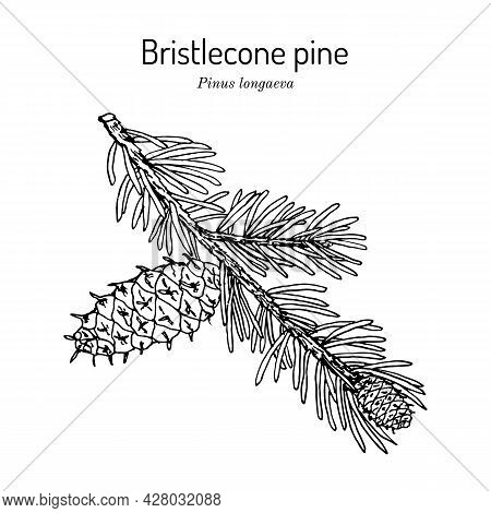 Bristlecone Pine Pinus Longaeva , State Tree Of Nevada. Hand Drawn Botanical Vector Illustration