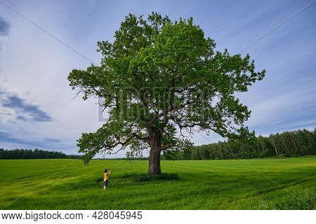 Old Huge Oak Tree In Summer Field. Woman Takes A Photo Of An Oak Tree With Her Phone.