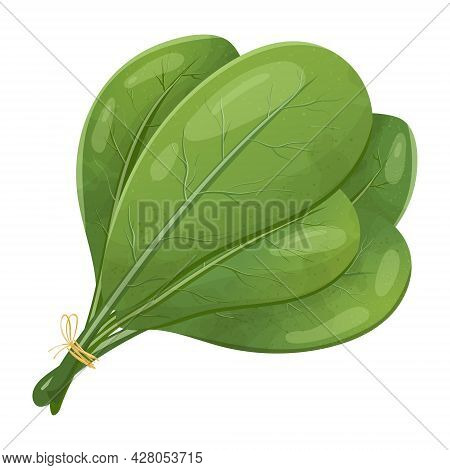 Vector Image Of A Bunch Of Spinach Leaves. Fresh Healthy Vegetarian Food, Herbs For Salad And Cookin