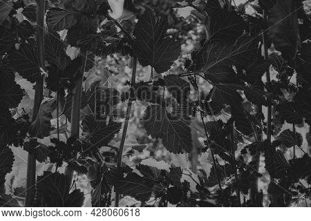 Under Mulberry Morus Tree Branches With Leaves. Black And White.