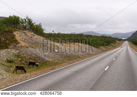 Reindeer Rambling On The Northern Lights Highway In Lapland In Northern Finland