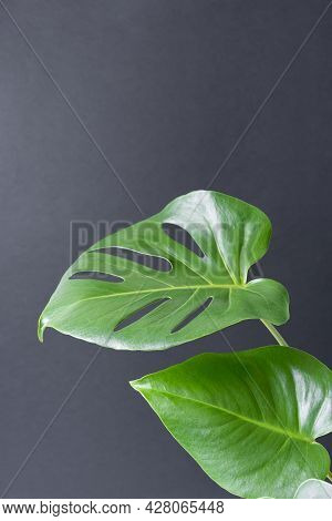 Beautiful Monstera Leaves Or Swiss Cheese Plant On A Black Background. Monstera In A Modern Interior