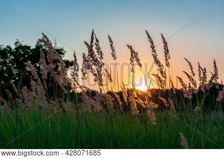 Tall Grass In A Green Meadow. Warm Summer Evening With A Bright Meadow At Sunset. Silhouette Of Gras