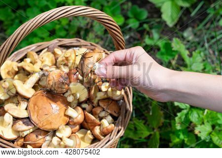 Little Edible Wild Forest Mushroom Called Suillus In Ypung Woman Hand On Bright Sunlight. Seasonal V