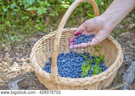 Berry Season. Ripe Blueberries In A Basket. The Process Of Finding And Collecting Blueberries In The