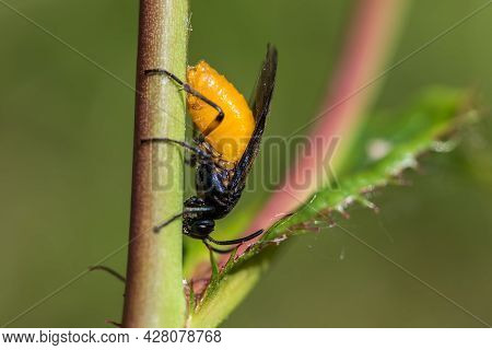 Large Rose Sawfly Arge Pagana Laying Eggs On A Rose Plant Stem. Close Up Of This Insect From East An