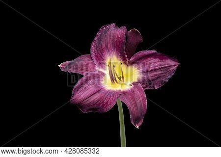 Vivid Dark Red Hemerocallis Siloam Paul Watts Plant, Know As Daylily, Lilium Or Lily Plant - Isolate