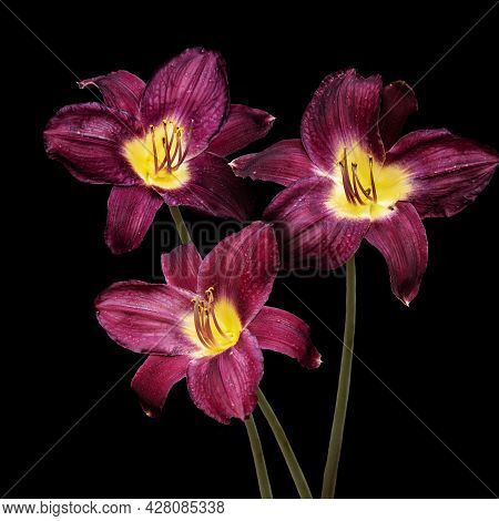 Vivid Dark Red Hemerocallis Siloam Paul Watts Plants, Know As Daylily, Lilium Or Lily Plant - Isolat