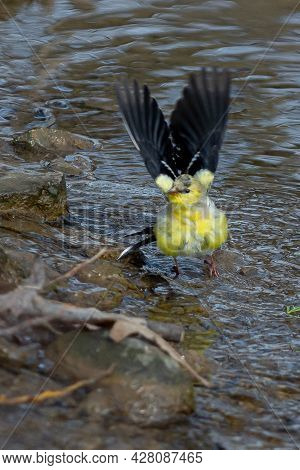 American Goldfinch (spinus Tristis) Is A Small North American Bird In A Water