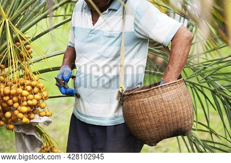 Raw Dates In Growers Mobile, Yellow Dates, Fresh Dates In The Field