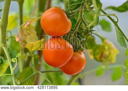 Three Tomatot Ready To Be Picked And Eaten