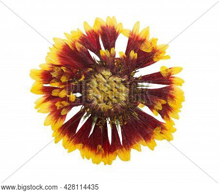 Pressed And Dried Flowers Gaillardia Isolated On White Background. For Use In Scrapbooking, Floristr