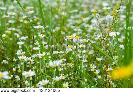 Floral Summer Background From Wild Flowers Chamomile. Chamomile Flowers Field Close Up. Outdoors Nat