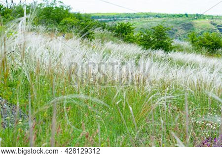 Steppe Plant Stipa Close-up, Beautiful Landscape On Horizon. Summer Background From Field Tall Grass