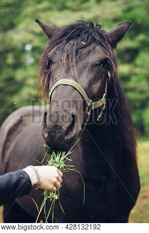 Young Breeder Gives Her Beautiful Black Working Horse A Grass To Eat As A Snack. The Black Horse Wit
