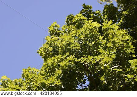 Norway Maple Against Blue Sky - Latin Name - Acer Platanoides