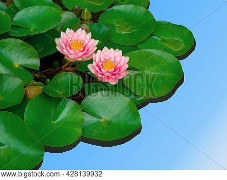 2 Flowers Pink Water Lily, Nymphaea, Yellow Pistils, Among Heart-shaped Green Leaves, Cut Floating O