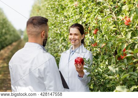 Summer And Autumn Harvest Of Organic Fruits, Work Of Agronomist, Checking Crop And Quality Control O